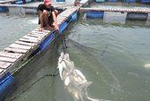 Cá bè Long Sơn lại chết trắng