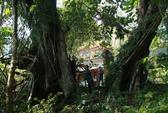 Kỳ thú cây đa di sản