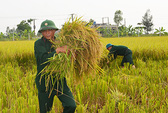 Công an, bộ đội, học sinh gặt lúa giúp dân