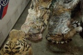 Phát hiện 2 cá thể hổ đông lạnh từ Lào về Việt Nam
