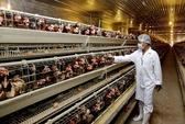 Quy trình sản xuất trứng gà omega-3