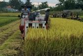 Muốn gặt lúa phải đóng 2 triệu đồng... an ninh