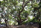 Bạc Liêu, về miền nhãn cổ trăm năm