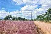 Ngất ngây với cỏ hồng trên đại ngàn Gia Lai