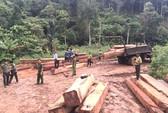 Hơn 35 m3 gỗ lậu nằm ngay cửa rừng