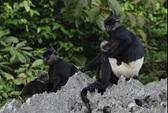 Phát hiện quần thể voọc mông trắng sắp tuyệt chủng ở Việt Nam