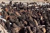 Cả ngàn con chó ngao Tây Tạng bị bỏ rơi ở Trung Quốc