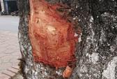 Điều tra xem có hành vi phá hoại vụ đẽo vỏ nhiều cây xà cừ