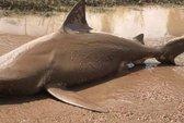 Úc: Bão quăng cá mập dài 1,7 m lên giữa đường