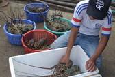 Vùng nuôi tôm hùm ô nhiễm nghiêm trọng