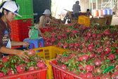 Bình Thuận: Giá thanh long cao kỷ lục