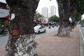 Hà Nội: Nhiều gốc cây xà cừ cổ thụ bị đẽo vỏ bí ẩn
