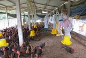 Quảng Ngãi: Tiêu hủy gần 4.000 con gà nhiễm cúm A/H5N6
