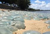 Hàng ngàn con sứa