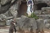 Nhật khóc thương chim cánh cụt tương tư