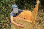 Chùm ảnh cận cảnh ngang nhiên tàn phá rừng phòng hộ Quảng Trị