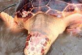 Thả rùa biển quý hiếm nặng 70 kg về môi trường tự nhiên