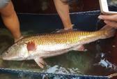 Bắt được cá lạ dài gần 1 m, toàn thân vàng óng
