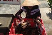 Không cần thị trường Trung Quốc, giá cua Cà Mau vẫn