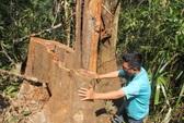 Thủ tướng ra lệnh đóng cửa, rừng phòng hộ vẫn bị tàn sát
