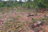 Khởi tố đối tượng bán rừng thông đặc dụng