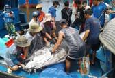 Ngư dân Bình Định câu dính cá ngừ khủng nặng 280kg