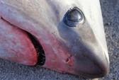 Mỹ, Canada: Trời lạnh đến nỗi cá mập chết cóng, dạt vào bờ