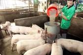 Heo gà ế ẩm, sao vẫn phải chi 33.000 tỉ mua thức ăn chăn nuôi?