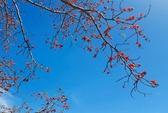 Tây Nguyên rực rỡ mùa hoa Pơ-lang