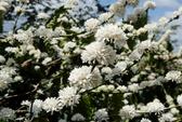 Đẹp ngỡ ngàng mùa hoa cà phê ở Tây Nguyên