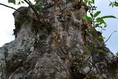 Những cổ cây có 1 không 2 ở Sóc Trăng