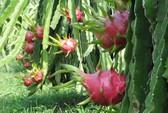 Thanh long Việt Nam rớt giá vì thanh long Trung Quốc vào mùa