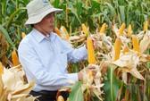 Gần 200ha bắp lai không ra hạt, nông dân Ninh Thuận khốn đốn