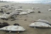 Cá chết la liệt tiếp tục tấp vào bờ biển Đà Nẵng