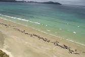 Nước mắt 145 con cá voi chết trên bờ biển New Zealand