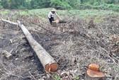 Phá rừng, chiếm đất trồng keo