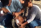 Mổ nội soi để cứu sống một cá thể rùa biển Cù lao Chàm