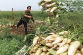 Lần đầu tiên người tiêu dùng miền Nam được thử đặc sản su su trồng trên cát
