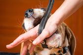 Chơi với chó cưng bị xước tay, phải… thay khớp háng