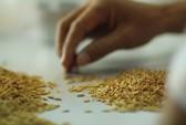 Thương mại hóa 2 giống lúa mới chịu được mặn và kháng bệnh