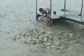 Ồ ạt thả nuôi cá tra ở ĐBSCL