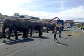 Xe đoàn xiếc lật, voi sổng trên xa lộ