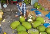 Ồ ạt trồng mít Thái siêu sớm: Cẩn trọng