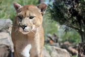 Mỹ: Bị sư tử núi vồ chết khi đang đạp xe
