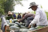 Hơn 100 tấn nghệ của nông dân Quảng Nam cần
