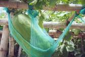 Khu vườn với những quả bí đao khổng lồ