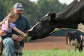Cạnh tranh sữa organic bắt đầu sôi động