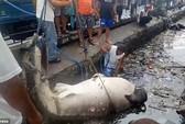 Hãi hùng cảnh lôi xác cá nhám voi ra khỏi vùng nước ngập ngụa rác