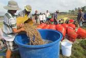 Loay hoay giảm giá thành nuôi tôm