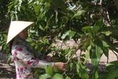 Nông dân Bình Thuận thất thu vụ xoài Tết